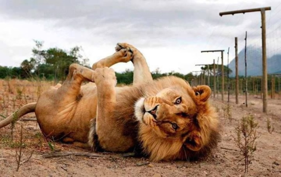 playful-lion