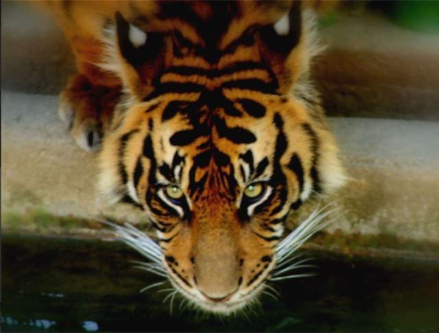 Tiger drinking