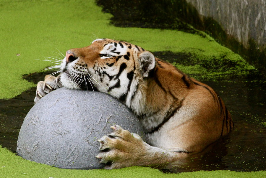 tiger_playing_in_the_water_by_dodephine-d4bvqf3