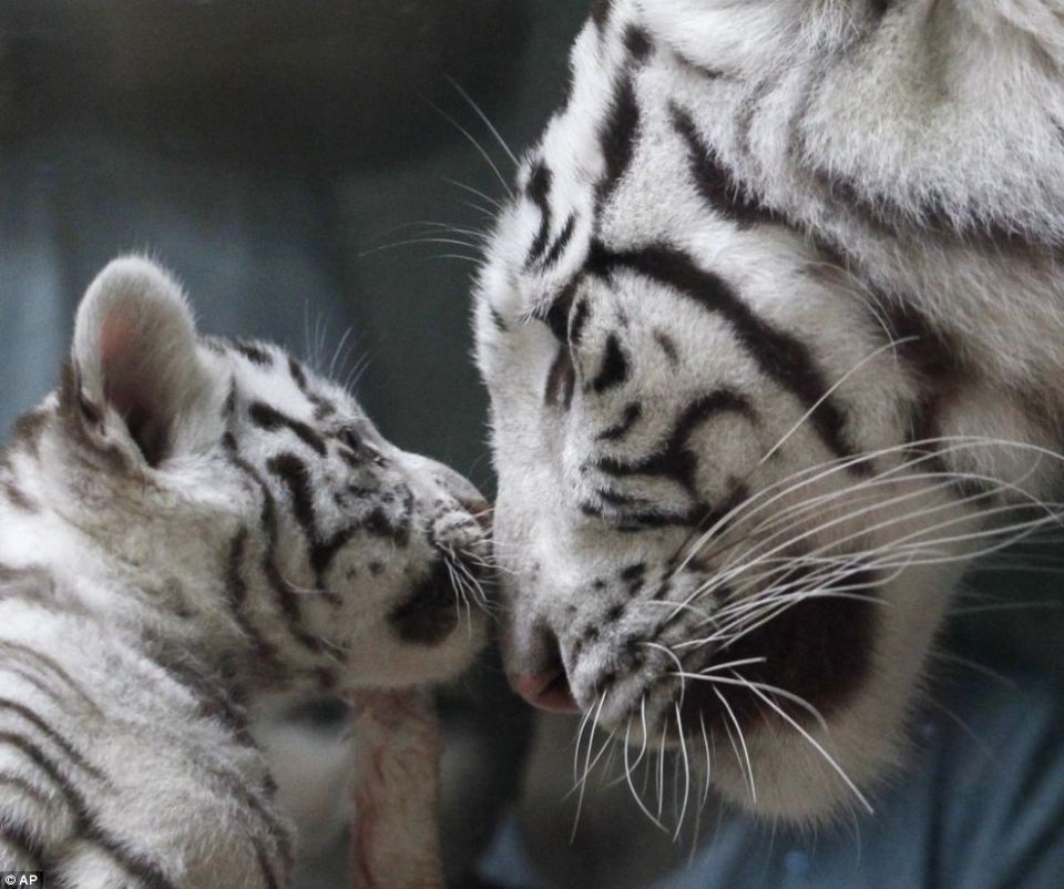 White Tigers mom cub