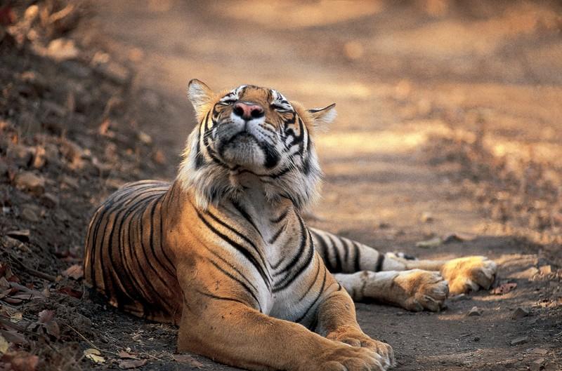 Tiger sniffing