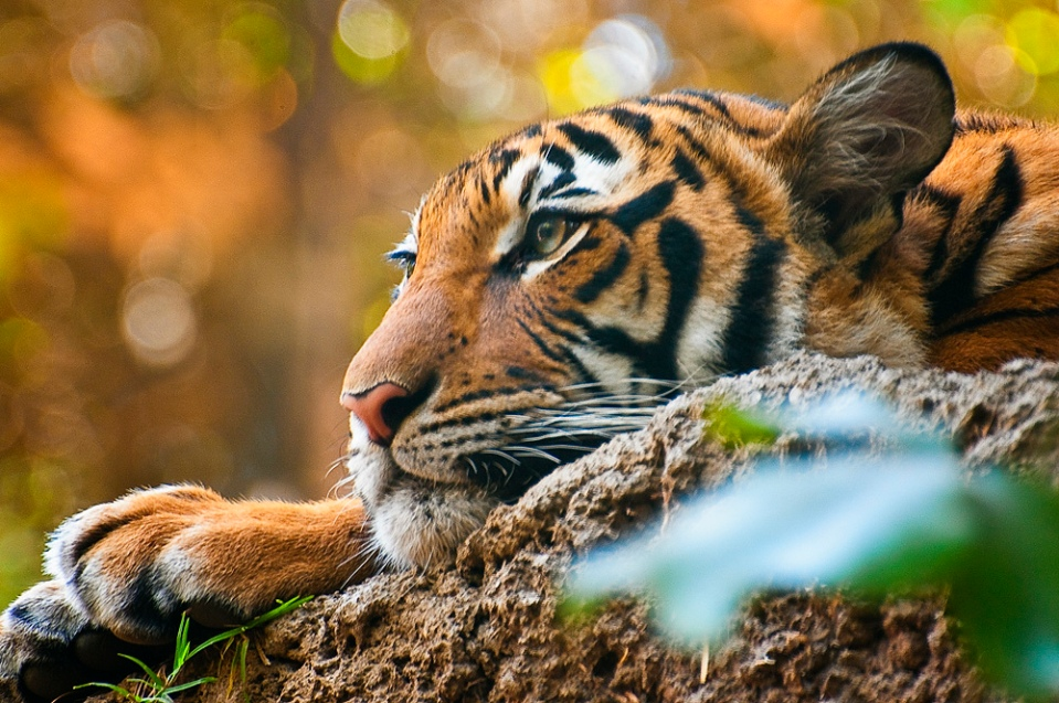 Tiger relaxed